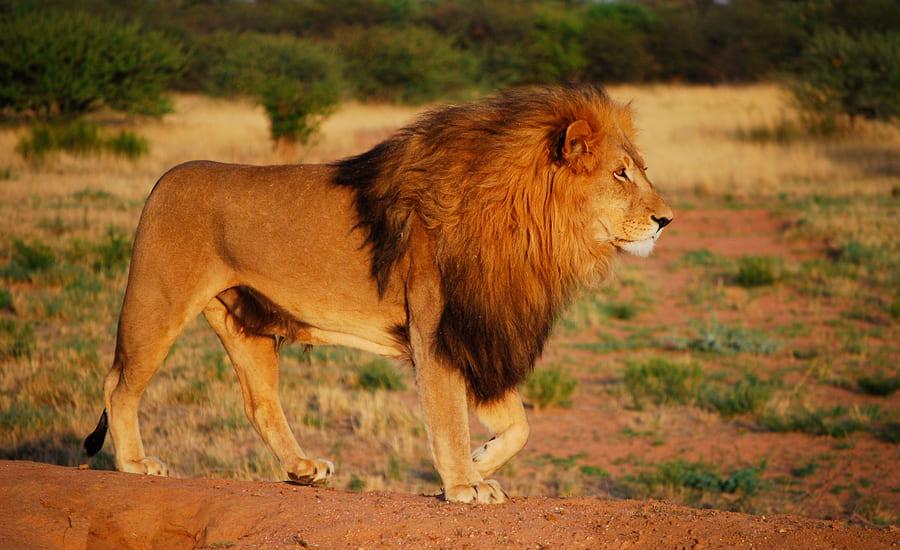 Лев на французском языке