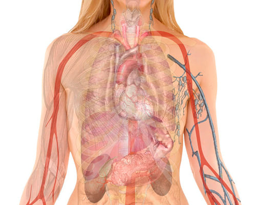 Фразы для темы анатомия на французском языке