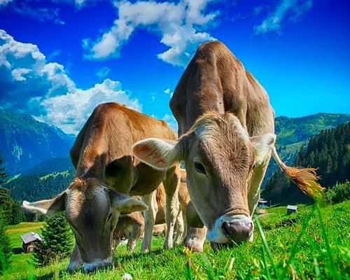 Корова на французском языке