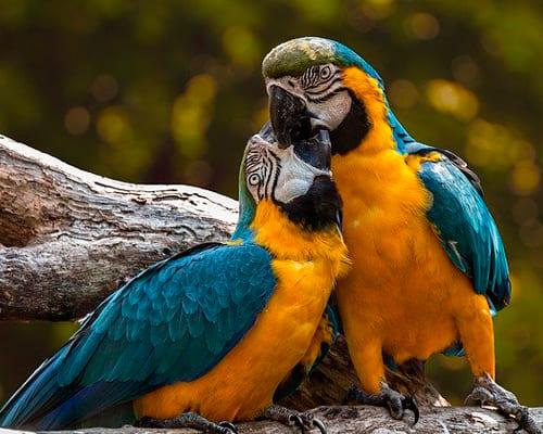Попугай на французском языке